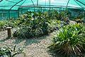 Darbhanga Tropical Garden Plant House - Agri-Horticultural Society of India - Alipore - Kolkata 2013-02-10 4641.JPG