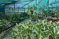 Darbhanga Tropical Garden Plant House - Agri-Horticultural Society of India - Alipore - Kolkata 2013-02-10 4653.JPG