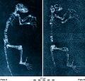 Darwinius radiographs.jpg