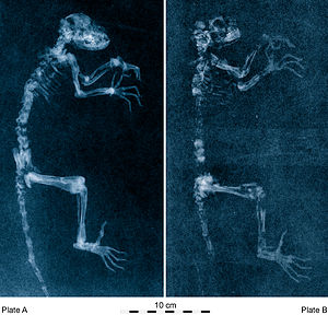 Darwinius - Radiographs of the Darwinius holotype fossil, revealing the fabricated parts of the counter-slab