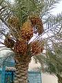 Date Palmtree.jpg