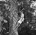 De Balata-bleeder tapt balata uit de balataboom (bolletrie) in Nickerie, Bestanddeelnr 252-5433.jpg