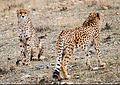 Delbar w Kooshki (Iranian Cheetahs) 01.jpg