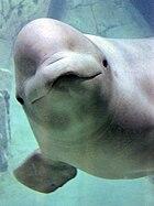 Delphinapterus leucas -Oceanografico, Valencia, Spain-8a.jpg