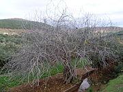 ثمره التين - اعرف المزيد عنها 180px-Demnate_tree