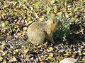 Denali National Park Rodent 1024px.jpg