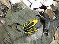 Dendrobates tinctorius12.jpg