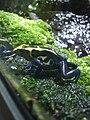 Dendrobates tinctorius at Zürich Zoo.JPG