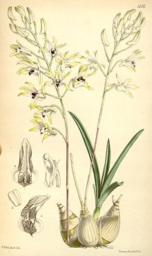 Dendrobium Canaliculatum Wikipedia