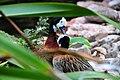 Dendrocygna viduata - Weltvogelpark Walsrode 2010-02.jpg