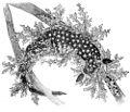 Dendronotus frondosus1.jpg