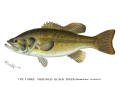 Denton Largemouth Bass 1896.png