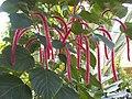 Denver Botanic Gardens Chenille plant.jpg