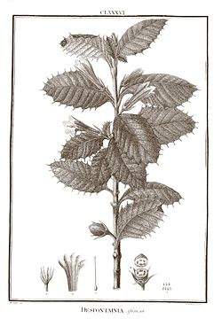 Desfontainia spinosa 1.jpg