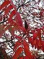 Detailaufnahme des Blütenstandes, Blätter des Essigbaums im Herbst 2014, Germany.JPG