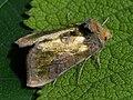 Diachrysia stenochrysis (39299032330).jpg