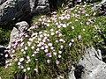 Dianthus monspessulanus 4.jpg