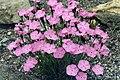 Dianthus nitidus 1.jpg