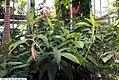 Dichorisandra thyrsifolia 3zz.jpg
