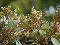 Dimocarpus longan Lour. (5598634606).jpg