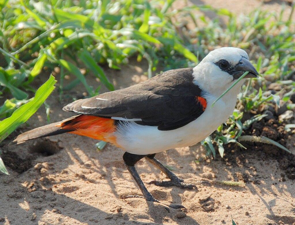 https://upload.wikimedia.org/wikipedia/commons/thumb/9/9c/Dinemellia_dinemelli_-Serengeti_National_Park%2C_Tanzania-8.jpg/1024px-Dinemellia_dinemelli_-Serengeti_National_Park%2C_Tanzania-8.jpg