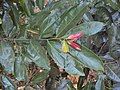 Diospyros bourdillonii 06.JPG