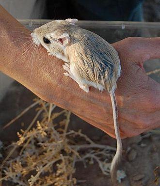 Merriam's kangaroo rat - Merriam's kangaroo rat (Dipodomys merriami)