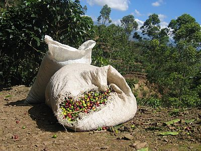 Freshly picked coffee near Orosí, Costa Rica