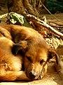 Dog, Cambodia (2211414091).jpg