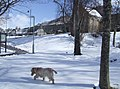 Dog out for a walk in the snow - geograph.org.uk - 762233.jpg
