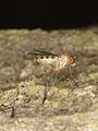 Dolichopodidae?? (Diptera), female ? (8073737451).jpg