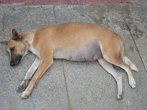 Indian pariah dog - Free-ranging pregnant dog, Bangalore