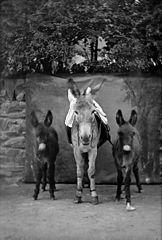 Donkeys (Ellis)