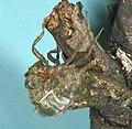 Dragonfly, Metamorphosis 1 (181300171).jpg