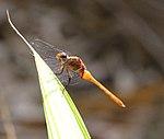 Dragonfly (31210886026).jpg