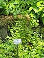 Dryopteris carthusiana - Botanischer Garten München-Nymphenburg - DSC07776.JPG