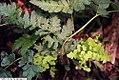 Dryopteris marginalis 7zz.jpg
