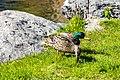 Duck (27479049487).jpg
