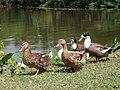 Ducks - Simurali 2011-10-05 050357.JPG