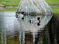 Ducks on Abbott Pond - panoramio.jpg