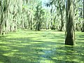 Duckweed covering water - panoramio.jpg