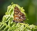 Duke of Burgundy Fritillary. Hamearis lucina (43550411360).jpg