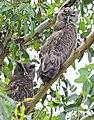 Dusky Eagle Owl (7870700022).jpg