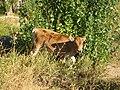 E8276-Tamchy-calf.jpg