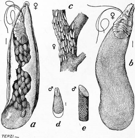 Life-cycle of the apple scale, Mytilaspis pomorum. a) underside of scale showing female and eggs, x24 b) scale upperside, x24 c) female scales on twig d) male scale, x12 e) male scales on twig