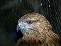 Eagle عقاب 20.jpg