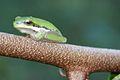 Eastern Dwarf Tree Frog (Litoria fallax).jpg