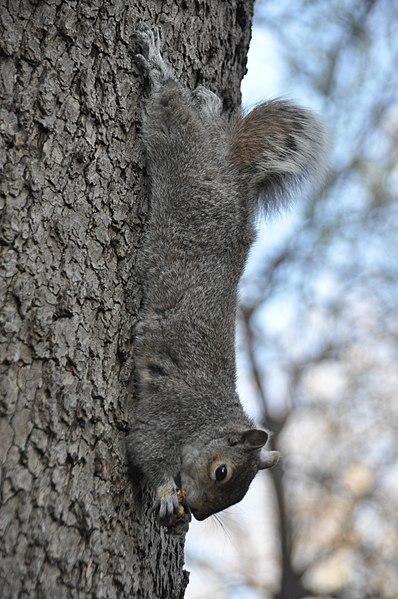 File:Eastern Gray Squirrel in Washington Square Park.jpg