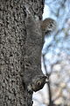 Eastern Gray Squirrel in Washington Square Park.jpg