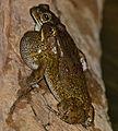 Eastern Olive Toads (Amietophrynus garmani) (11839254383).jpg
